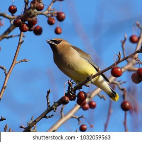 Cedar waxwing bird standing on the branch eating red fruit