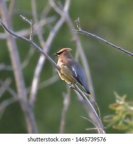 Cedar Waxwing (bombycilla cedrorum) (songbird)