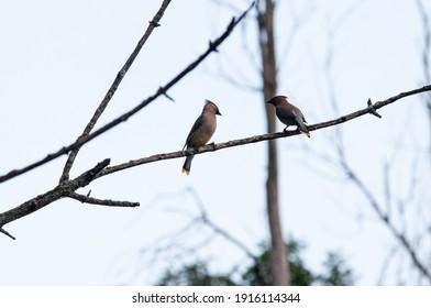 cedar waxwing common birds of ontario on the tree branch