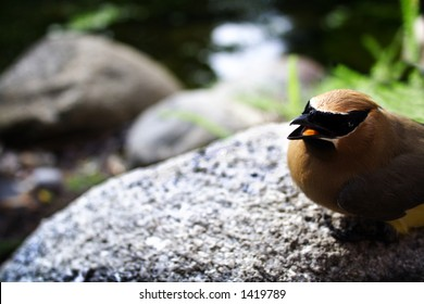 Cedar waxwing rests on a rock by a stream. You can see the tongue via open mouth.