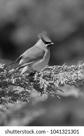 Cedar waxwing with topknot in the wind vertical black and white photo