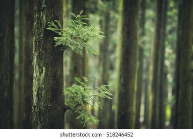 cedar wood in jeju