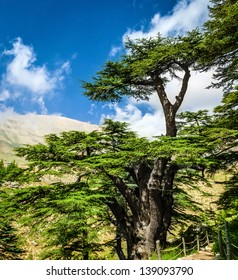 Cedar woods in the mountains on blue sky background, Lebanese nature, beautiful landscape, evergreen tree forest, summer tourism concept