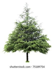 cedar,bare christmas tree isolated on white