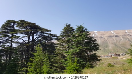 The Cedars of God located at Bsharri, are one of the last vestiges of the extensive forests of the Lebanon cedar that once thrived across Mount Lebanon. Lebanon