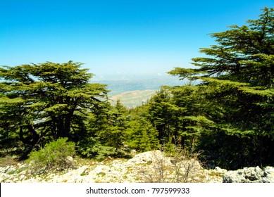 Cedars of Lebanon (Cedrus Libani) growing at 6,000 feet in the Shouf (or Chouf) Biosphere Reserve on Jabal Barouk in the Mount Lebanon district of Lebanon.