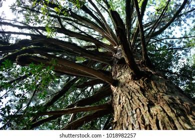 ceder tree yakushima