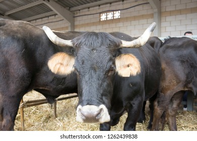 CEDRILLAS TERUEL ARAGON SPAIN ON OCTOBER 2018: Cows for sale at Agricultural fair in Cedrillas village Teruel Aragon Spain on October 10, 2018