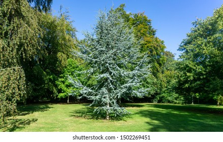 Cedrus Atlantica Glauca tree, also known as Blue Atlas Cedar a large evergreen cedar tree with needle like leaves, seen here in a parkland setting.