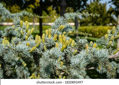 "Cedrus Atlantica Glauca is a tree also known as Blue Atlas Cedar or Cedrus libani atlantica. Cones on branches with needle-like leaves. Blurred background. City Park ""Krasnodar"" or Galitsky Park."