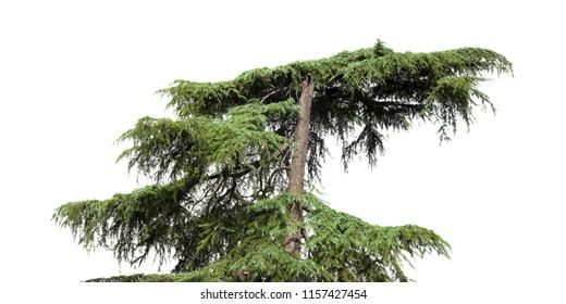 Cedrus libani, aka Cedar of Lebanon isolated on white background