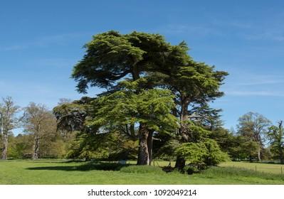 Cedrus Libani Tree (Cedar of Lebanon) with a Bright Blue Sky Background in Rural Devon, England, UK