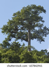 Ceiba or kapok tree in Cuban countryside. Ceiba is the name of a genus of many species of large trees found in tropical areas.
