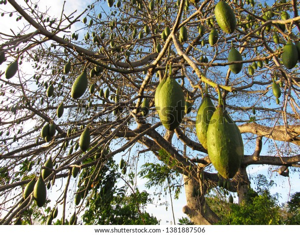 Ceiba pentandra tree with fruit close up