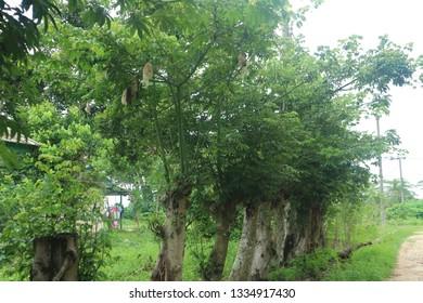 Ceiba Pentandra Images, Stock Photos & Vectors | Shutterstock