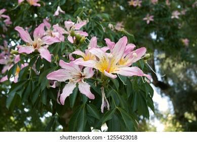 Ceiba speciosa blossom