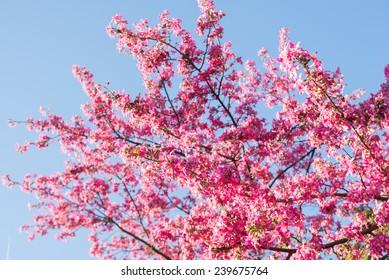 Ceiba speciosa pink flowers