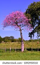 Ceiba speciosa, popularly called palo borracho