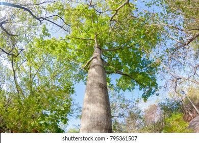 Ceiba tree with long branches and green leaves