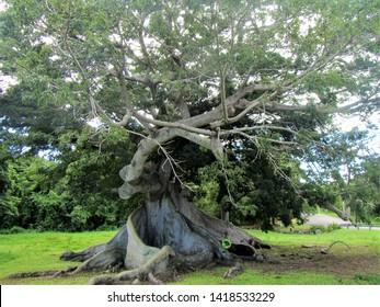 Ceiba tree in Vieques, Puerto Rico
