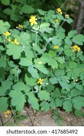 Celandine (Chelidonium) - Poppy plant family (Papaveraceae), Swallow