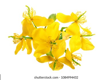 celandine flowers isolated on white background closeup