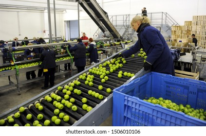 CELAREVO, SERBIA - APRIL 2017: Workers sort green apples at Delta Agrar orchard processing line, circa April 2017