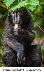 The Celebes crested macaque.  Crested black macaque, Sulawesi crested macaque, or the black ape. Natural habitat. Sulawesi Island. Indonesia.