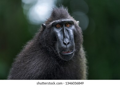 The Celebes crested macaque . Close up portrait, front view. Crested black macaque, Sulawesi crested macaque, or the black ape.  Natural habitat. Sulawesi. Indonesia.