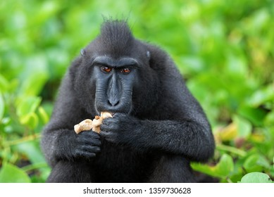The Celebes crested macaque eating. Close up portrait. Crested black macaque, Sulawesi crested macaque, Sulawesi  macaque,  the black ape.  Natural habitat. Sulawesi. Indonesia.
