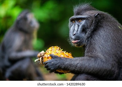 The Celebes crested macaque eating pineapple.  Crested black macaque, Sulawesi crested macaque, or the black ape. Natural habitat. Sulawesi Island. Indonesia.