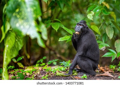 The Celebes crested macaque in the forest.  Crested black macaque, Sulawesi crested macaque, or the black ape. Natural habitat. Sulawesi Island. Indonesia.