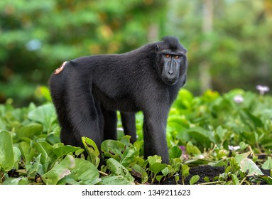 The Celebes crested macaque . Green natural background. Crested black macaque, Sulawesi crested macaque, sulawesi macaque or the black ape.  Natural habitat. Sulawesi. Indonesia.