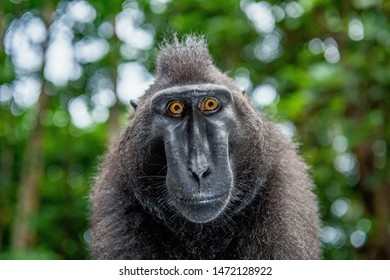 The Celebes crested macaque.  Green natural background.   Crested black macaque, Sulawesi crested macaque, or the black ape. Natural habitat. Sulawesi. Indonesia.