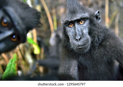 The Celebes crested macaque , also known as the crested black macaque, Sulawesi crested macaque, or the black ape. Natural habitat. Sulawesi. Indonesia.