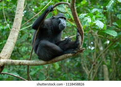 Celebes crested macaque (Macaca nigra), Tangkoko, Sulawesi, Indonesia