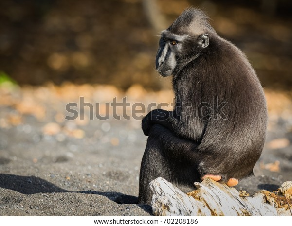 celebes crested macaque  is an old world monkey that lives in the Tangkoko reserve, endemic and endangered.