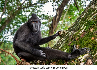 The Celebes crested macaque on the tree.  Green natural background.   Crested black macaque, Sulawesi crested macaque, or the black ape. Natural habitat. Sulawesi. Indonesia.