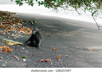 Celebes crested macaque sitting on a black sand beach in Tangkoko National Park, Indonesia