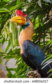 Celebes hornbill bird with red horn and yellow orange beak colorful feathers