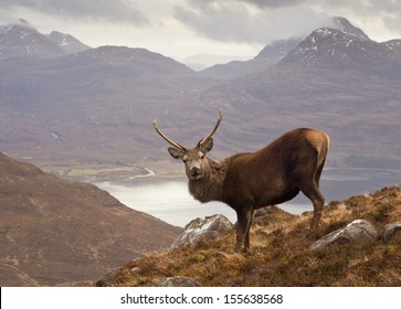The celebrated 'Monarch of the Glen' red deer stag overlooking Loch Torridon and the dramatic Wester Ross mountain range from high up on Beinn Alligin, Scotland.
