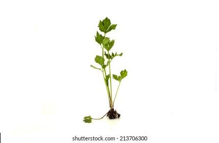 Celery (Apium graveolens) on white background