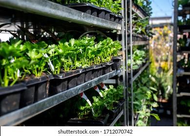 Celery cuttings on silver shelves in garden store in Wrocław, Poland.