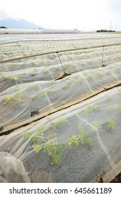 Celery field with insect screening net - at Hara village, Nagano, Japan