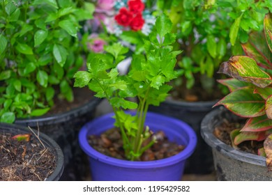 Celery growing in a flowerpot, with red flowers in background.