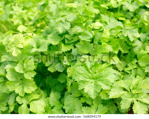 Celery. Hydroponics method of growing plants using mineral nutrient solutions, in water, without soil.  planting hand Hydroponics plant farm