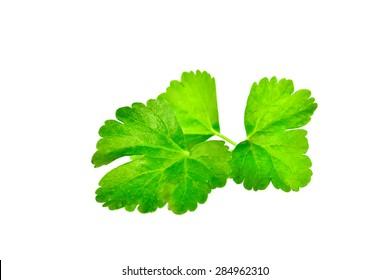 Celery leaf closeup on white background