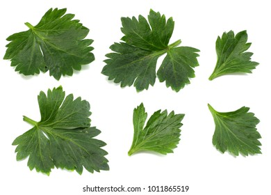 celery leaf isolated on white background. Celery isolated on white. Healthy food
