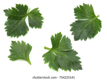 celery leaf isolated on white background. top view