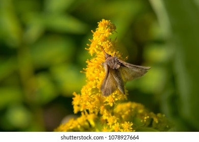 Celery Looper Moth collecting nectar from a Goldenrod flower. Tiny marsh Provincial Wildlife Area, Elmvale, Ontario, Canada.